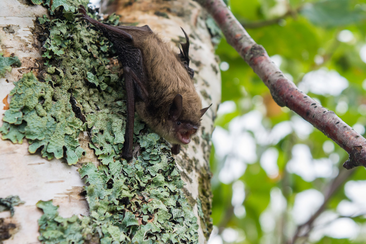native council of pei - aboriginal fund for species at risk - afsar - bat survey